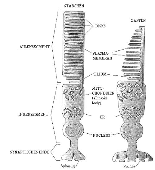 fotorezeptoren