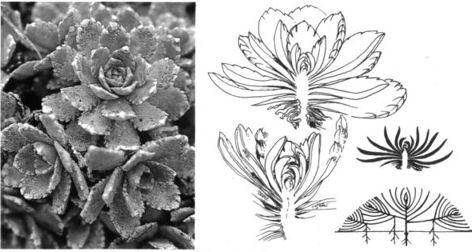 rosette wuchsform