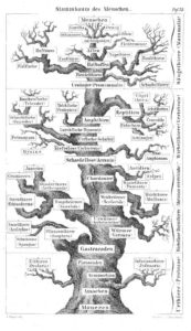 haeckel stammbaum