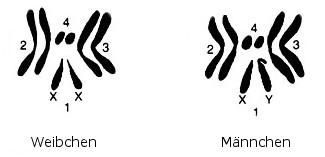 Chromosomen von Drosophila