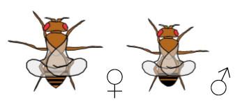 Drosophila Mutante curly