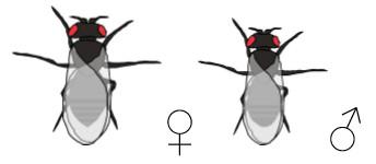 Drosophila Mutante ebony