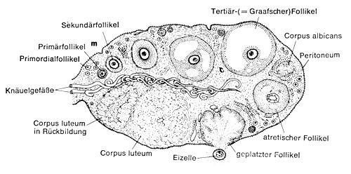 eizellentwicklung im ovar