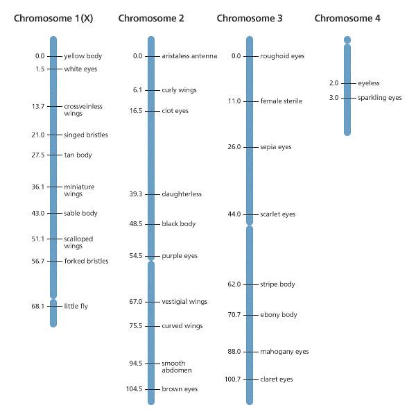 Genkartierung Drosophila