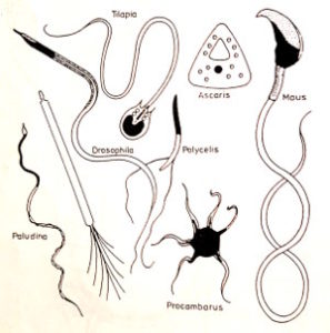 verschiedene spermien