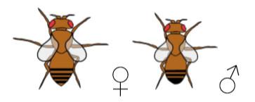 Drosophila Mutante vestigial
