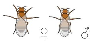 Drosophila Mutante white