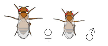 Drosophila wild