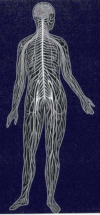 nervensystem