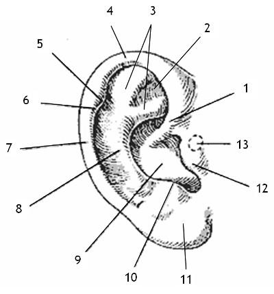 ohrmuschel